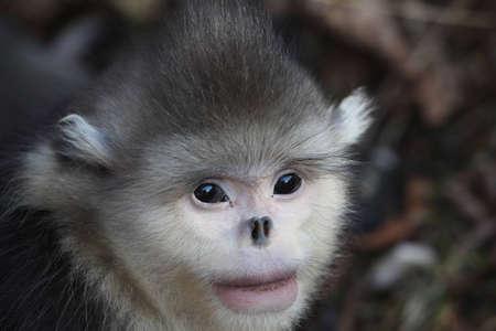flying monkey: Yunnan golden monkey