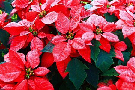 pulcherrima: Red poinsettia fiore (Euphorbia pulcherrima)