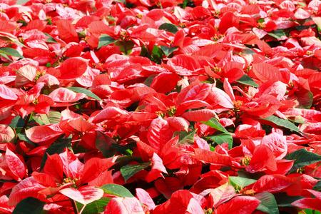 pulcherrima: Red poinsettia flower (Euphorbia pulcherrima) Stock Photo