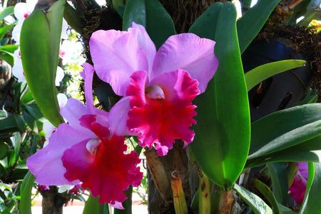 orchidaceae: orchid, Epidendrum stamfordianum