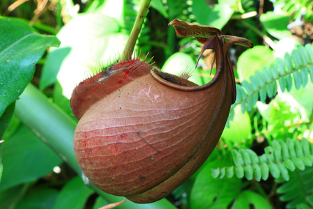 nepenthes: Nepenthes, Monkey Cups