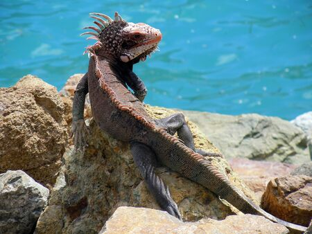 The green iguana  Iguana iguana  Shown here on St Thomas, US Virgin Islands photo