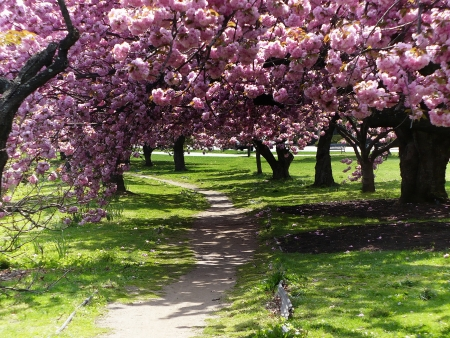 Cherry blossom trees at Mill River Park - Stamford, Connecticut Stock Photo
