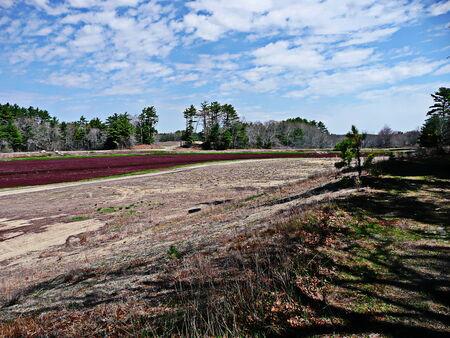 trinchante: Un pantano de ar�ndano en Carver, Massachusetts