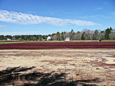 carver: Un pantano de ar�ndano en Carver, Massachusetts