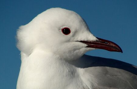 south african birds: Closeup view of a South African Sea Gull