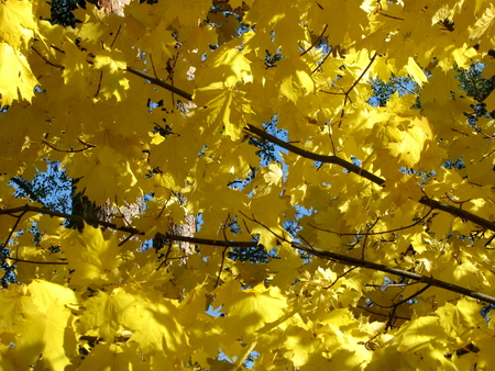 acer platanoides: Acer platanoides, commonly called Norway maple, is native to Europe, changing color with the arrival of autumn Stock Photo