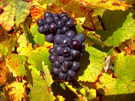 pinot: Close-up of Pinot noir grapes near the village of Bu, Centre, France