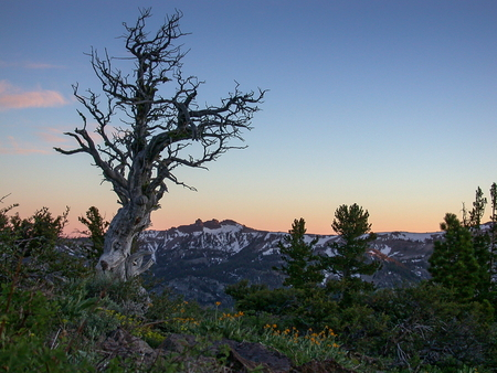 sierra nevada mountain range: View of an ancient pine high up in the Sierra Nevada mountain range, California