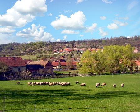 Flock of sheep in the pasture in the Village of Milý, Rakovník District, Czech Republic Stock Photo