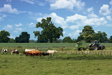 Cattle and tractor on a farm in Hertfordshire, England