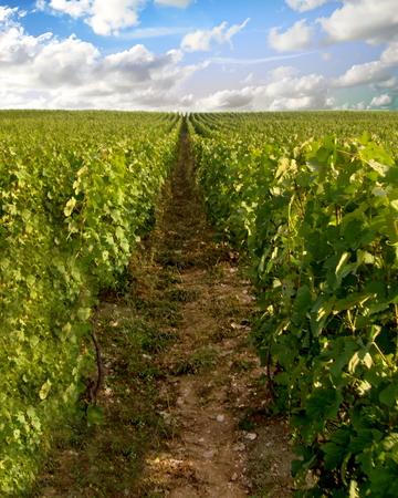 A vineyard in the Champagne region of Lorraine, France Standard-Bild - 115064732