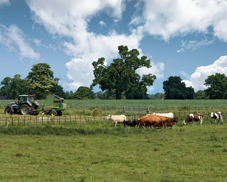 View of cows and tractor on a farm in Childwickbury, Hertfordshire, England Фото со стока