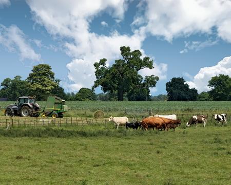 Vista de vacas y tractor en una granja en Childwickbury, Hertfordshire, Inglaterra Foto de archivo