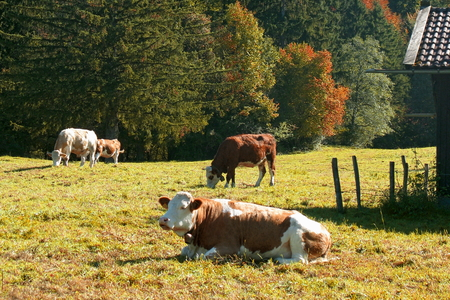 Cows in the pasture near Schlehdorf, Upper Bavaria, Germany Standard-Bild - 117353201