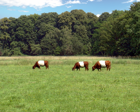 Dutch Belted cows grazing in a pasture in Austria's farm country, Austria Standard-Bild - 117353775