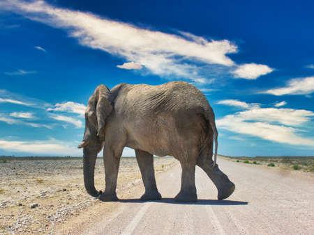 Elephant roaming at the Etosha National Park, Namibia