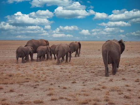 A herd of African elephants roaming the Amboseli National Park in Kenya 免版税图像