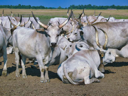 Hungarian Grey cows in the Hortobagy National Park, Hungary
