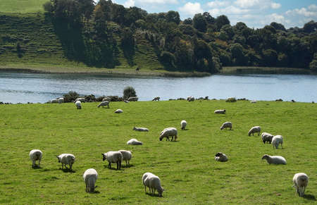 Sheep grazing in a pasture in the Scottish Highlands, Scotland, United Kingdom