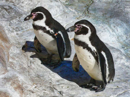 A pair of Humboldt penguins in the Pinguino de Humboldt National Reserve in northern Chile