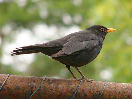 Closeup of a North African blackbird in Algeria