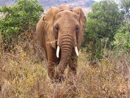 Closeup view of an African bush elephant at the Amboseli National Park, Kenya 免版税图像