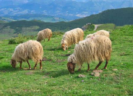Sheeps grazing on the Picos de Europa mountain range in northern Spain