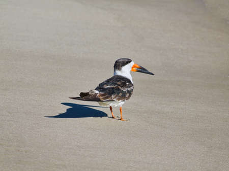 View of a black skimmer on the beach in Galveston, Texas, USA