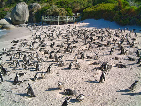 Large group of African penguins on Boulders Beach, South Africa