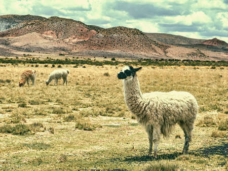 Llamas set amid rugged desert landscapes and red rock formations in the Tupiza River Valley, Bolivia