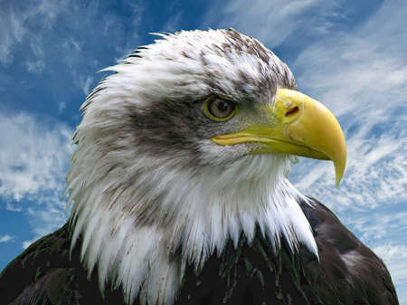 Closeup of a bald eagle at the Combe Martin Wildlife and Dinosaur Park, North Devon, England