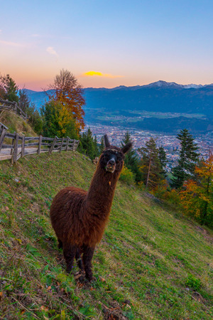 Lama in front of a sunset at the Alps in Innsbruck at the Tyrol in Austria