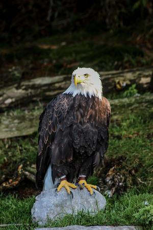 soon eagle - haliaeetus leucocephalus, falconry, Vorarlberg, Austria Stock Photo
