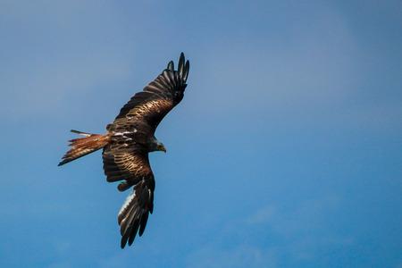 red kite - Milvus milvus, falconry, Vorarlberg, Austria Reklamní fotografie - 89670782