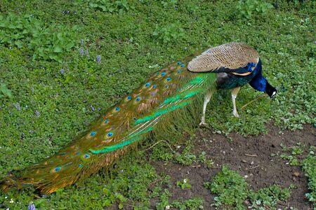Indian peafowl, Pavo cristatus, peacock,