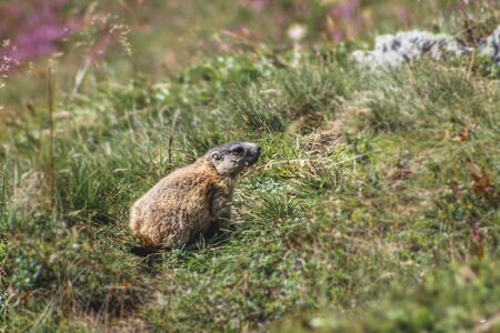 Baby groundhog (marmot) sitting in the grass in the alps (Europe)