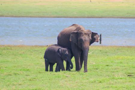 Indian Elephant - Kaudulla National Park - Sri Lanka - Wild Elephants
