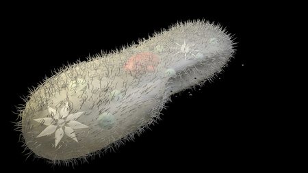unicellular: 3d model biological micro organism paramecium caudatum