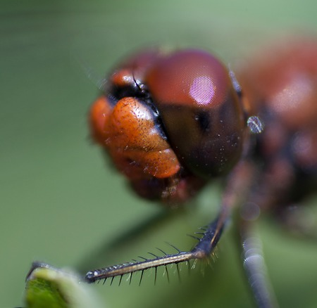 largely: Head of a red dragonfly largely, big facets eyes.