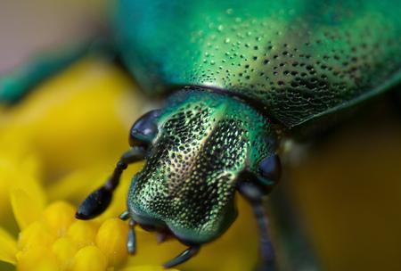 aurata: cetonia aurata on a flower, cetoniinae, macro bug head closeup