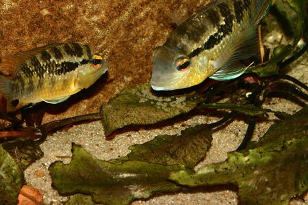 silver perch: Cichlid (Bujurquina spec.) - Couple at the clutch