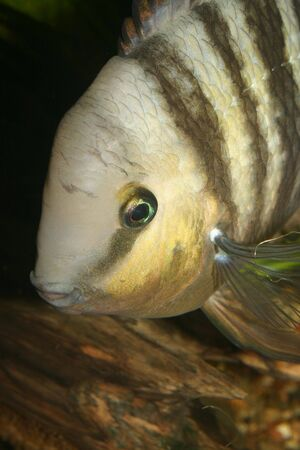 large cichlid: Blue Eyed Cichlid (Cryptoheros spilurus) - male to a root - Portrait