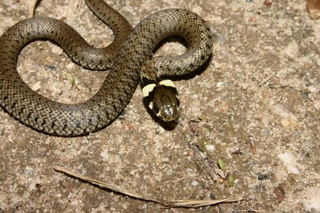 Young grass snake (Natrix natrix) in the sun Stock Photo - 7095069