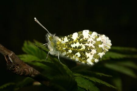 Orange Tip (Anthocharis cardamines) - female on a plant Stock Photo - 7095060