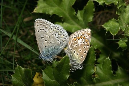 lycaenidae: Gossamer-winged butterflies (Lycaenidae) with the pairing