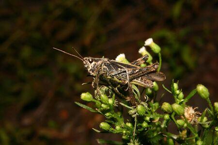chorthippus: Common field grasshopper (Chorthippus brunneus) on a plant Stock Photo