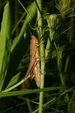 chorthippus: Field grasshopper (Chorthippus apricarius) - females on a plant stem