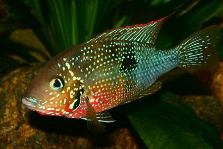 large cichlid: Mexican Fire Mouth (Thorichthys ellioti) - Male