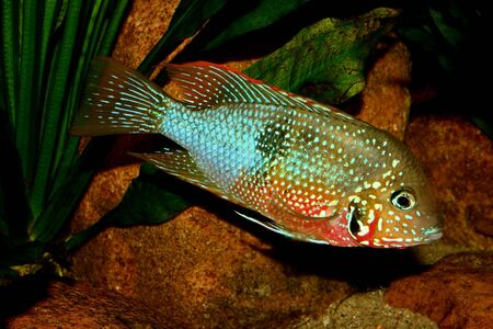 Mexican Fire Mouth (Thorichthys ellioti) - Male  Stock Photo - 7110496